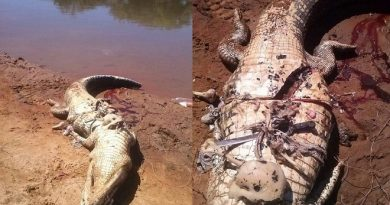 Brazil: Mổ bụng cá sấu thấy thi thể người nông dân bên trong