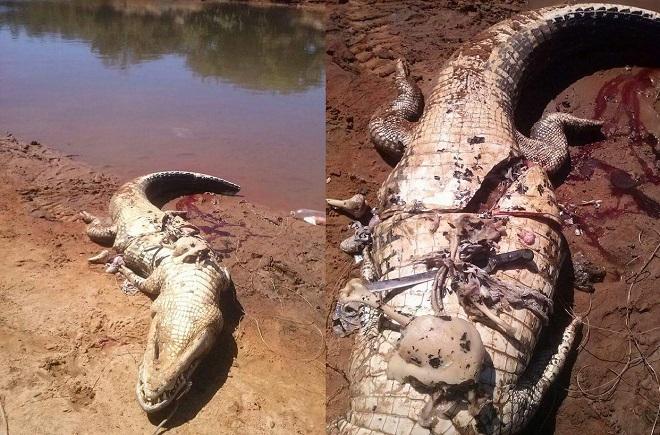 Điều tra pháp y cho thấy con cá sấu ăn thịt người khoảng hai tuần trước