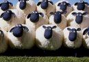 Giải mã ý nghĩa giấc mơ thấy con cừu