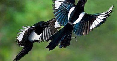 Nằm ngủ mơ thấy chim khách đánh con số nào