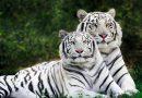 Mơ thấy hổ có điềm báo ý nghĩa gì