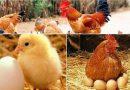 Nằm mơ thấy gà chết đánh đề con gì chắc ăn nhất?