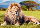 Mơ thấy sư tử đánh xổ số con gì