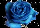 Những con số đề trong giấc mơ thấy hoa hồng xanh là số gì