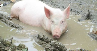 mơ thấy lợn