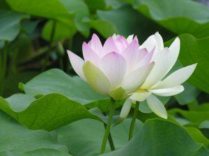 Mơ thấy hoa sen là điềm báo điều gì?