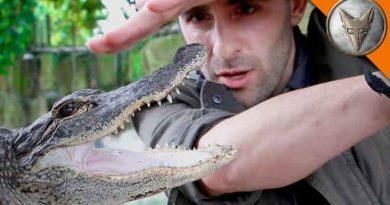 Mơ thấy cá sấu cắn đánh con gì? Điềm báo gì?